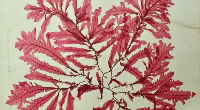 The Queen of Seaweeds – the story of Amelia Griffiths, an early 19th century pioneer of marine botany.