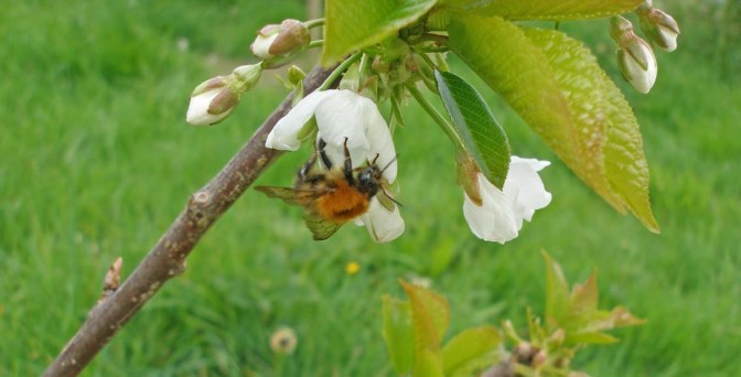 500 dead bumblebees – pesticides leave their deadly trace