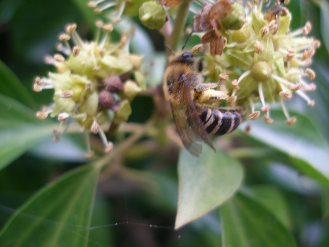 More ivy, more Ivy Bees !