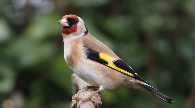 The charm of goldfinches