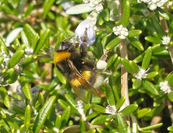 Winter-active bumblebees in a Devon seaside garden