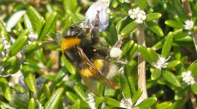 Winter-active bumblebees in a Devon seaside garden
