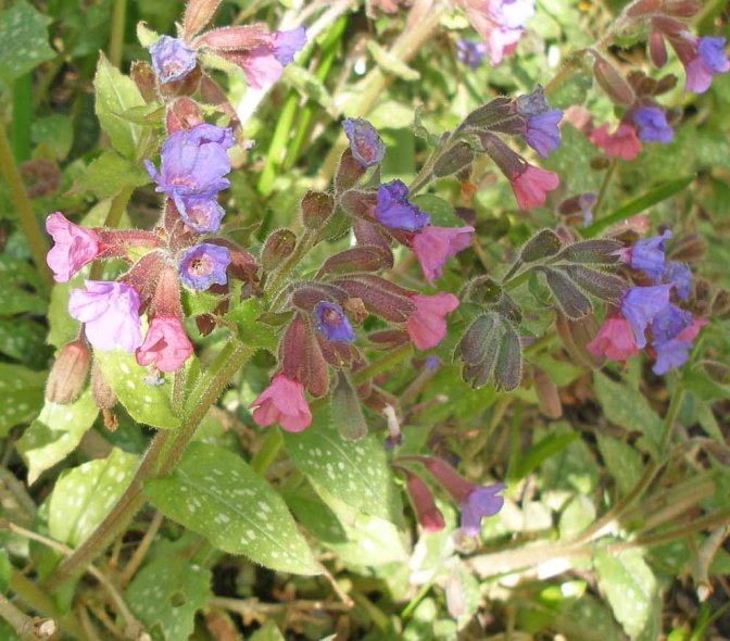 Loitering by Lungwort, peering at Pulmonaria