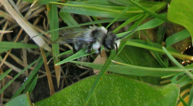 More solitary bees – and their unsavoury friends