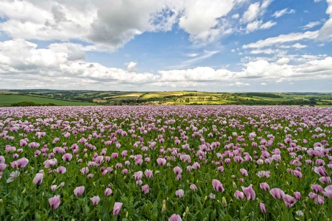 The opium fields of England