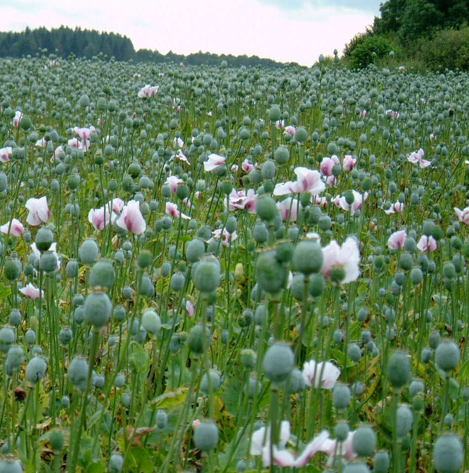The Opium Fields Of England Philip Strange Science And Nature Writing
