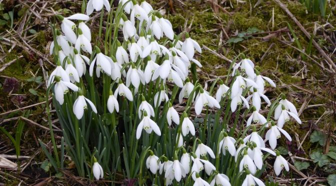 A snowdrop celebration in west Dorset