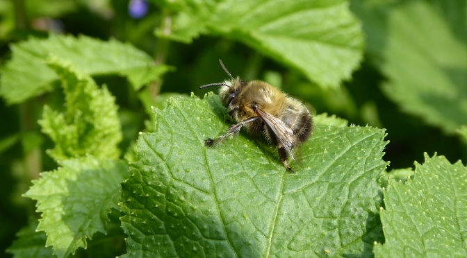 One of my favourite early spring bees