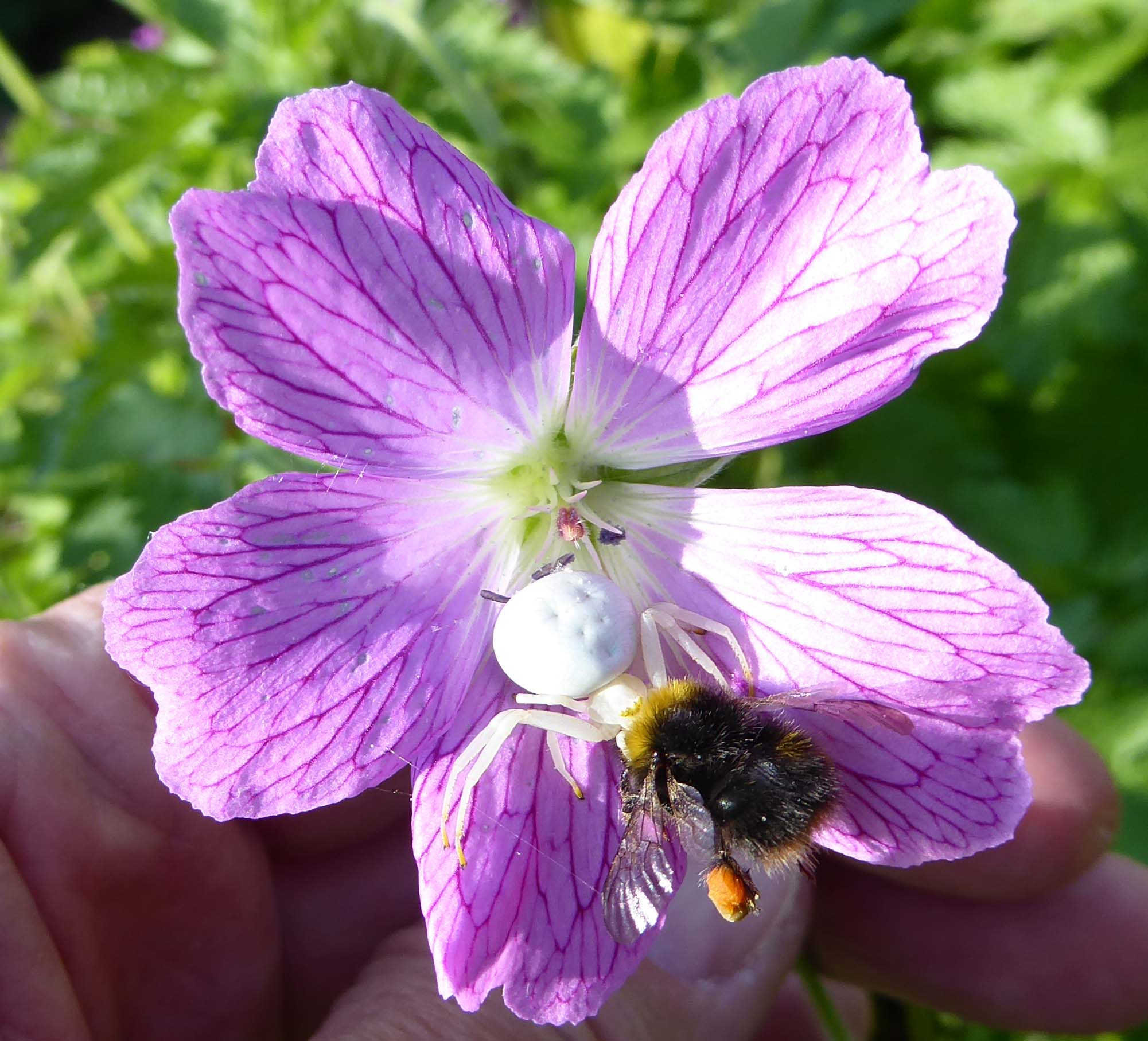 A Bombus pratorum worker meets a white crab spider and the end is not a good one for the bee, May 30 2016
