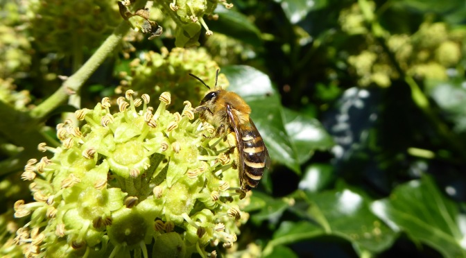 Liquid Energy – ivy bees by the sea in South Devon