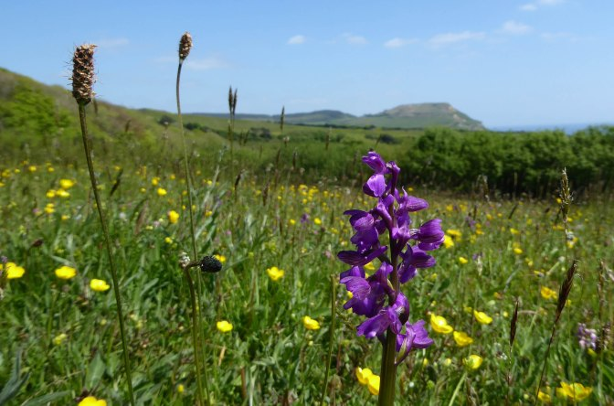 Flower-rich hay meadows on the Golden Cap Estate in west Dorset