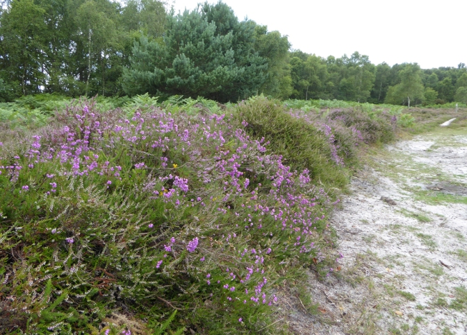 Thomas Hardy's Egdon Heath