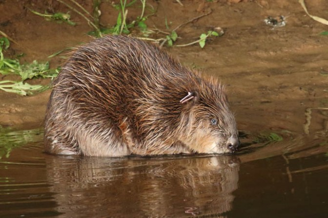 Beavers live here!  Rewilding on the River Otter in East Devon