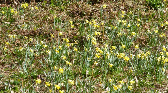 In search of the native daffodil