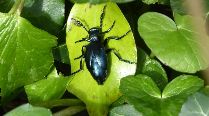 Hitch-hiking beetles and dancing bees – Lockdown Nature Walks 15