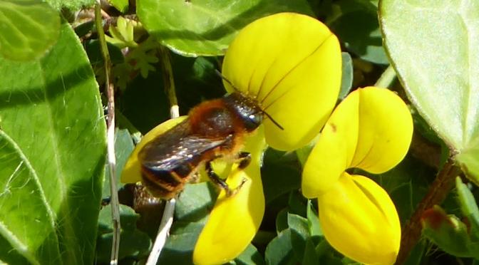 A jewel of a bee on a shingle beach