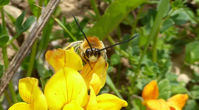 Long-horned bees on the south Devon coast